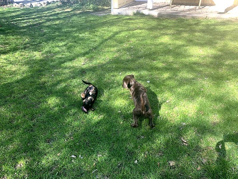Spielende Hunde im Gut Grubnow Garten