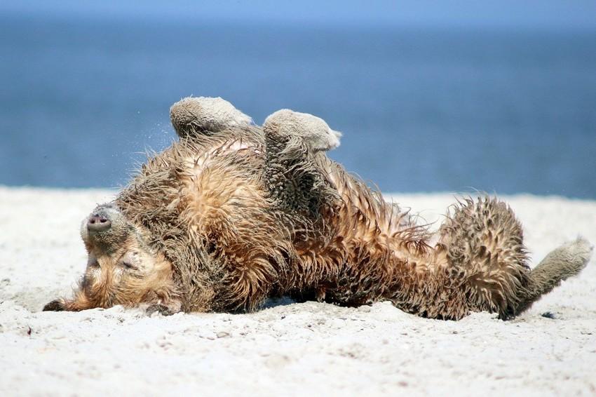 Hund rollt sich am Strand auf Rügen